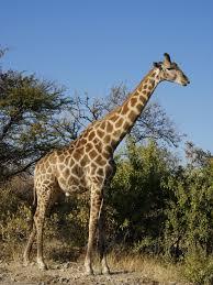 Girafe et intuition ?